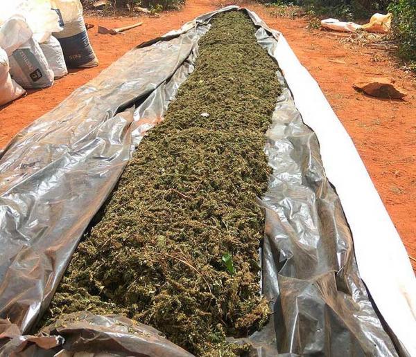 Polícia encontra 400 mil pés de maconha e mais 1 tonelada da droga na BA; suspeito é morto